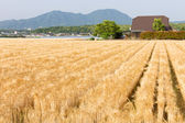 Field of barley — Stock Photo
