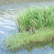 Stock Photo: Riverside reeds