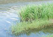 Riverside reeds — Stock Photo