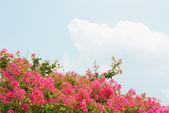 Flower of crape myrtle — Stock Photo
