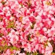 Stock Photo: Flowers of azalea