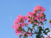 Flower of crape myrtle — Stock Photo