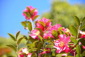 Flowers are blooming sasanqua — Stock Photo