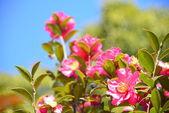 çiçek çiçek açan sasanqua vardır — Stok fotoğraf