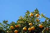 Tree of the citrus fruit is ripe — Stok fotoğraf