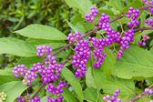 Purple fruits — Stock Photo