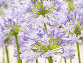 Amaryllis flower — Stock Photo