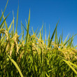Rice ripe — Stock Photo