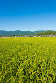 Rice ripe — Stock Photo