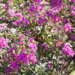 Stock Photo: Flowers of crape myrtle