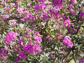 Flowers of crape myrtle — Stock Photo