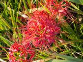 Amaryllis rojo — Foto de Stock