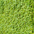 Ivy covering the wall — Stock Photo