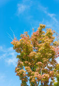 Maple tree that impending autumn leaves — Stock Photo