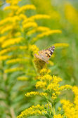Brush-footed butterfly on goldenrod — Stock Photo
