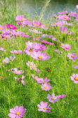 Cosmos flowers and grass — Stock Photo
