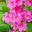 Stock Photo: Geranium flowers