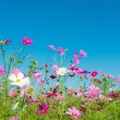 Cosmos flowers — Stockfoto