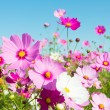 Cosmos flowers — Stock Photo #33937471