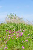 Cosmos flowers and silver grass — Stock Photo