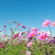Cosmos flowers — Stock Photo #34292847