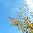 Blue sky and a cherry tree in autumn — Stock Photo