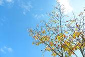 蓝蓝的天空和秋季的樱桃树 — 图库照片