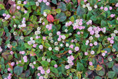 Flowers of polygonum — Stock Photo