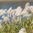 Silver grasses in autumn — Stock Photo