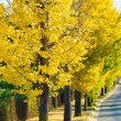 Stock Photo: Ginkgo trees on way to become yellow leaves