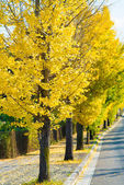 Ginkgo trees on the way to become the yellow leaves — ストック写真