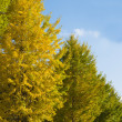 Ginkgo trees on way to become yellow leaves — Stock Photo #35764059