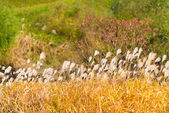 Silver grass in autumn — Stock Photo