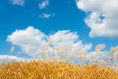 Silver grass in autumn — Stock Photo