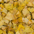Fallen leaves of the ginkgo — Stock Photo