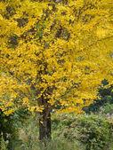 żółty ginkgo liście jesienią — Zdjęcie stockowe