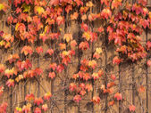 Ivy that autumn leaves on the wall — Stock Photo