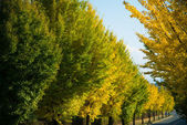 Ginkgo yellow leaves in autumn — Stock Photo