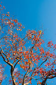 Tree that fall foliage and blue sky — Stock Photo