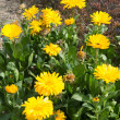 Yellow flowers of calendula — Stock Photo #39486291