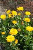 Yellow flowers of calendula — Stock Photo