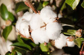Seed of cotton in winter — Stock Photo
