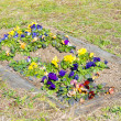 Flower bed of pansies flower bloomed — Stock Photo