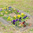 Flower bed of pansies flower bloomed — Stock Photo #39674275