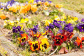 Flower bed of pansies flower bloom — Stok fotoğraf