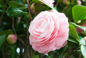Flower of the double-flowered camellia — Stock Photo