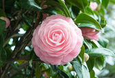 Flower of the double-flowered camellia — Foto de Stock