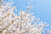 Kiraz çiçekleri ve mavi gökyüzü — Stok fotoğraf