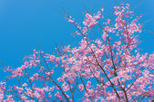 Cherry blossoms and blue sky — Foto de Stock