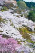 Blommande körsbärsträd i full blom — Stockfoto